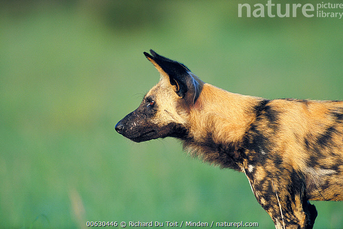 African Wild Dog (Lycaon pictus) summer, Savute, Chobe National Park, Botswana, African Wild Dog, Botswana, Chobe National Park, Color Image, Day, Dog, Endangered Species, Head and Shoulders, Horizontal, Lycaon pictus, Nobody, One Animal, Outdoors, Photography, Profile, Savute, Side View, Summer, Wildlife, Richard Du Toit