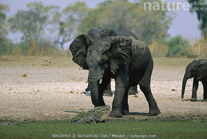African Elephant (Loxodonta africana) covered in mud, Morenti Wildlife Preserve, Botswana, African Elephant, Botswana, Color Image, Day, Horizontal, Loxodonta africana, Mud, Nobody, One Animal, Outdoors, Photography, Threatened Species, Vulnerable Species, Walking, Wildlife,African Elephant,Botswana, Richard Du Toit
