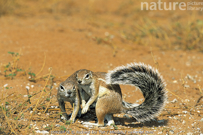 Striped Ground Squirrel (Xerus erythropus) pair, one using it's tail as shade, Kgalagadi Transfrontier Park, South Africa, Color Image, Day, Desert, Full Length, Horizontal, Kgalagadi Transfrontier Park, Nobody, Outdoors, Photography, Shade, South Africa, Striped Ground Squirrel, Two Animals, Wildlife, Xerus erythropus, Richard Du Toit
