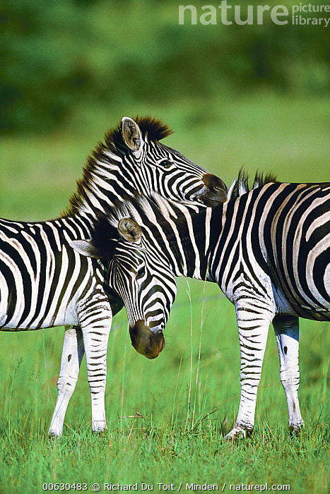Burchell's Zebra (Equus burchellii), pair in summer, Itala Game Reserve, South Africa, Burchell's Zebra, Color Image, Day, Equus burchellii, Itala Game Reserve, Nobody, Outdoors, Photography, South Africa, Summer, Two Animals, Vertical, Wildlife, Zebra, Richard Du Toit