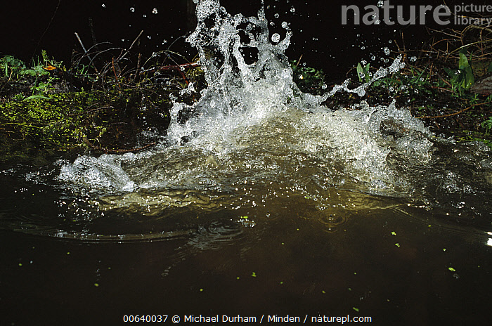 American Beaver (Castor canadensis) splashing water with tail in defensive display, Mt Hood National Forest, Oregon, Adult, American Beaver, Castor canadensis, Color Image, Communicating, Day, Defending, Forest Habitat, High Speed, Horizontal, Mount Hood National Forest, Nobody, One Animal, Oregon, Photography, Portrait, Splashing, Threatening, USA, Wildlife,American Beaver,Oregon, USA, Michael Durham