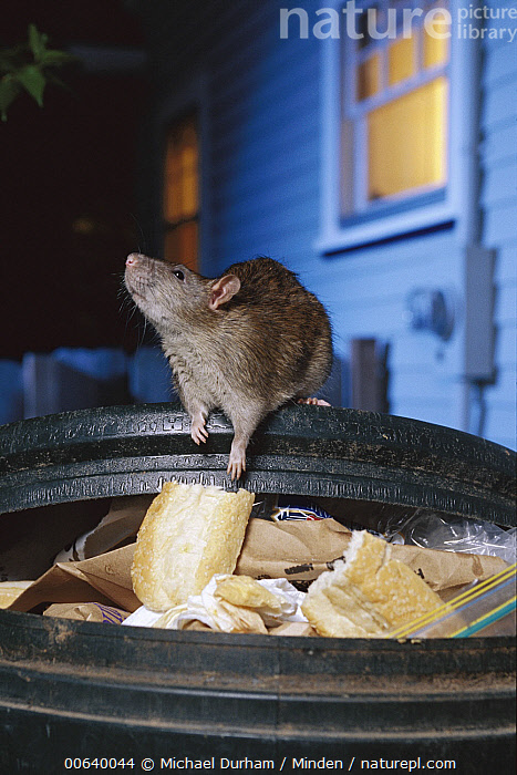 Brown Rat (Rattus norvegicus) raiding urban garbage, common pest species native to Europe, introduced worldwide  ,  Brown Rat, Close Up, Color Image, Front View, Full Length, House, Large Group of Objects, Night, Nobody, Norway Rat, One Animal, Pest, Photography, Rat, Rattus sp, Rattus norvegicus, Scavenger, Scavenging, Trash, Urban, Vertical, Wildlife,Brown Rat,Europe  ,  Michael Durham