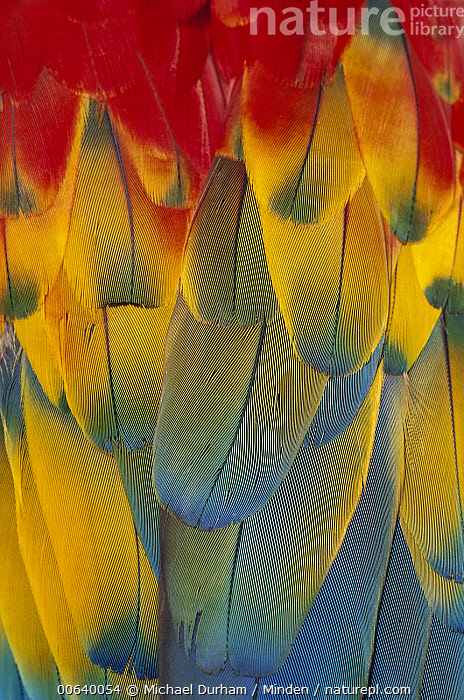Scarlet Macaw (Ara macao) close-up of colorful feathers  ,  Abstract, Ara macao, Blue, Captive, Close Up, Color Image, Colorful, Day, Detail, Feather, Full Frame, Magnification, Nobody, One Animal, Parrot, Photography, Portrait, Red, Scarlet Macaw, Vertical, Wildlife, Yellow,Scarlet Macaw  ,  Michael Durham