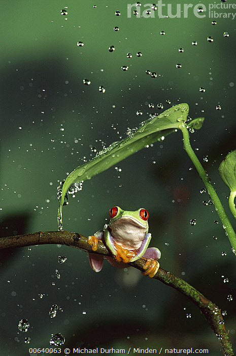 Red-eyed Tree Frog (Agalychnis callidryas) in rain, native to Central and South America, Adult, Agalychnis callidryas, Captive, Close Up, Color Image, Day, Droplet, Eye, Flower, Frog, Front View, Full Length, High Speed, Large Group of Objects, Nobody, One Animal, Photography, Rain, Raining, Red, Red-eyed Tree Frog, Shelter, Vertical, Wet, Wildlife,Red-eyed Tree Frog, Michael Durham