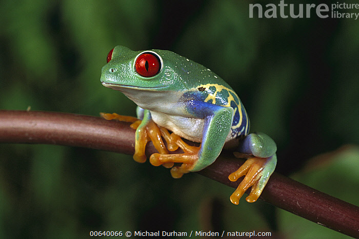 Red-eyed Tree Frog (Agalychnis callidryas), native to Central and South America, Adult, Agalychnis callidryas, Captive, Close Up, Color Image, Day, Eye, Frog, Front View, Full Length, Horizontal, Nobody, One Animal, Photography, Red, Red-eyed Tree Frog, Wildlife,Red-eyed Tree Frog, Michael Durham