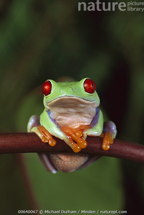 Red-eyed Tree Frog (Agalychnis callidryas) portrait, native to Central and South America, Adult, Agalychnis callidryas, Captive, Close Up, Color Image, Colorful, Day, Eye, Frog, Front View, Full Length, Looking at Camera, Nobody, One Animal, Photography, Red, Red-eyed Tree Frog, Resting, Sitting, Vertical, Wildlife,Red-eyed Tree Frog, Michael Durham