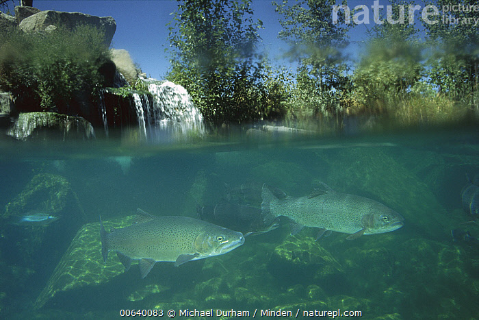 Rainbow Trout (Oncorhynchus mykiss) swimming underwater, North America  ,  Color Image, Day, Fish, Full Length, Horizontal, Nobody, North America, Oncorhynchus mykiss, Photography, Profile, Rainbow Trout, Salmo gairdneri, Side View, Split-view, Swimming, Trout, Two Animals, Underwater, Wildlife,Rainbow Trout,North America  ,  Michael Durham