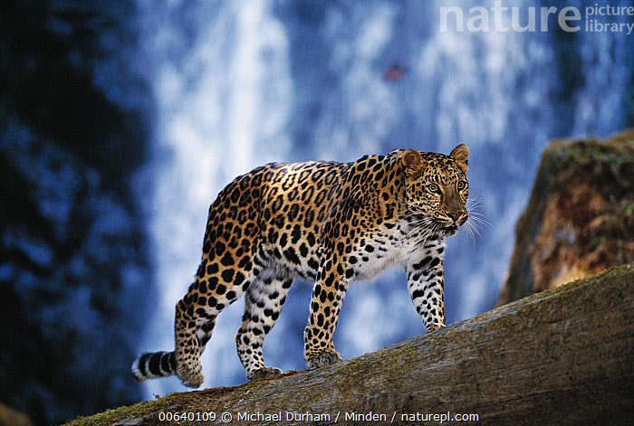 Amur Leopard (Panthera pardus orientalis) portrait, native to the Amur River Valley, Siberia, Manchuria and Korea, Amur Leopard, Amur River Valley, Captive, Color Image, Day, Front View, Full Length, Horizontal, Manchuria, Nobody, One Animal, Panthera pardus orientalis, Photography, Russia, Siberia, Spotted, Wildlife,Amur Leopard,Russia, Michael Durham