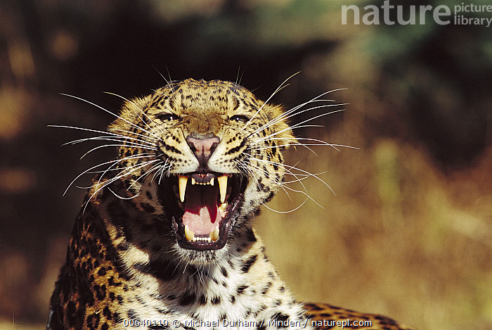 Amur Leopard (Panthera pardus orientalis) portrait, native to the Amur River Valley, Siberia, Manchuria and Korea  ,  Aggression, Amur Leopard, Amur River Valley, Anger, Close Up, Color Image, Danger, Day, Front View, Growling, Head and Shoulders, Horizontal, Looking at Camera, Manchuria, Nobody, One Animal, Open Mouth, Panthera pardus orientalis, Photography, Portrait, Russia, Siberia, Snarling, Spotted, Whisker, Wildlife,Amur Leopard,Russia  ,  Michael Durham