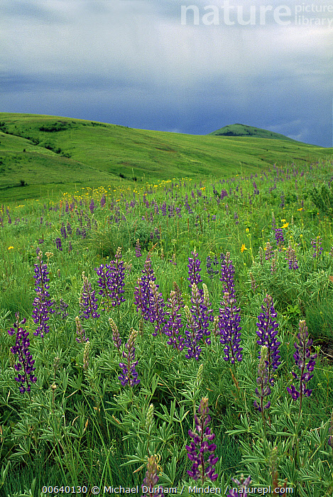 Tallcup Lupine (Lupinus caudatus) with spring blooms on the Zumwalt Prairie, owned by The Nature Conservancy, Oregon, Color Image, Day, Field, Flower, Landscape, Lupinus caudatus, Meadow, Nature Conservancy, Nobody, Oregon, Photography, Prairie, Spring, Tallcup Lupine, Tranquility, USA, Vertical, Zumwalt Prairie Preserve,Tallcup Lupine,Oregon, USA, Michael Durham