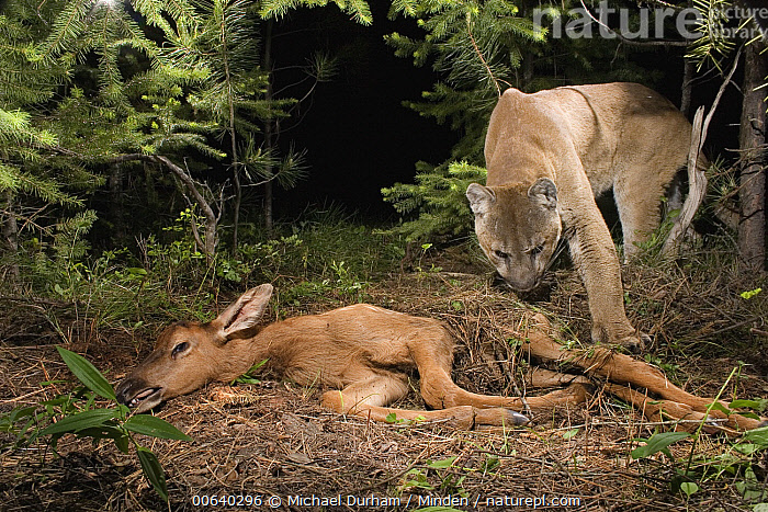 Mountain Lion (Puma concolor) uncovers a young Elk (Cervus elephus nelsoni) calf that it killed and covered with debris earlier, Wallowa County, Oregon * tags and tracking collar on cat were digitally removed *, Carcass, Color Image, Day, Digital Enhancement, Elk, Horizontal, Kill, Mountain Lion, Nobody, Oregon, Outdoors, Photography, Predator, Prey, Puma concolor, Two Animals,Mountain Lion,Elk,Oregon, USA, Michael Durham