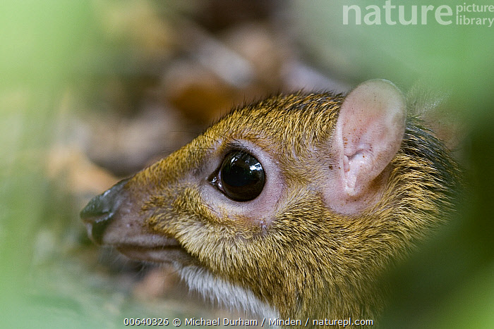Lesser Malay Mouse Deer (Tragulus javanicus) at dusk in Endau-Rompin National Park, Malaysia  ,  Close Up, Color Image, Day, Deer, Endau-Rompin National Park, Horizontal, Lesser Malay Mouse Deer, Nocturnal, Nobody, One Animal, Outdoors, Photography, Tragulus javanicus, Wildlife,Lesser Malay Mouse Deer  ,  Michael Durham