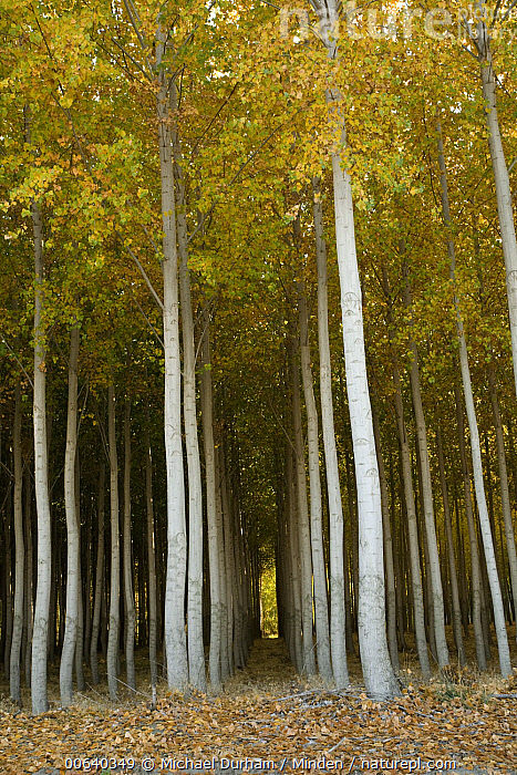 Nature Picture Library Cottonwood Populus Sp Hybrid Tree Farm Grown For Pulp And Fiber Primarily For Paper Production Washington Michael Durham