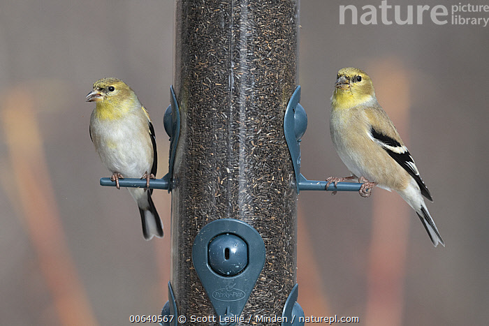 American Goldfinch (Carduelis tristis) pair at bird feeder in winter, Nova Scotia, Canada  ,  Adult, American Goldfinch, Bird Feeder, Canada, Carduelis tristis, Color Image, Day, Eating, Full Length, Horizontal, Nobody, Nova Scotia, Outdoors, Photography, Seed, Side View, Songbird, Two Animals, Wildlife, Winter  ,  Scott Leslie