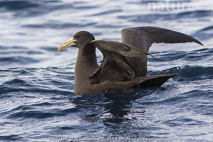 Northern Giant Petrel (Macronectes halli) spreading wings, Victoria, Australia  ,  Adult, Australia, Color Image, Day, Full Length, Horizontal, Macronectes halli, Nobody, Northern Giant Petrel, One Animal, Outdoors, Photography, Seabird, Side View, Spreading Wings, Victoria, Wildlife  ,  Rob Drummond/ BIA
