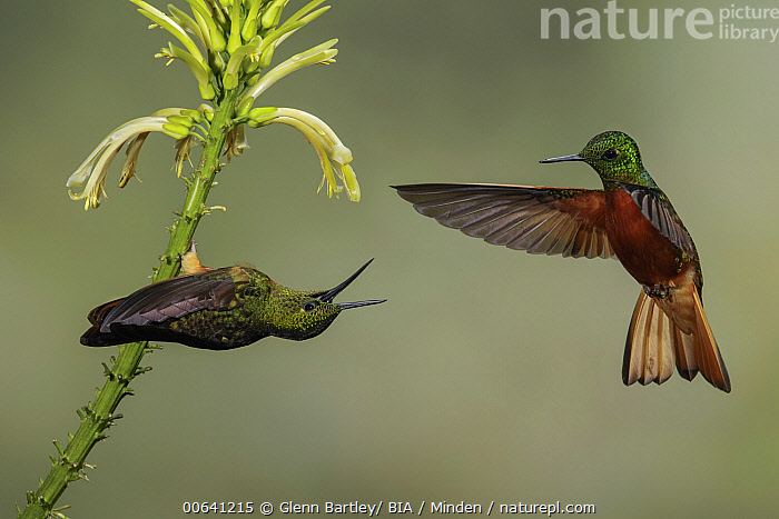 Chestnut-breasted Coronet (Boissonneaua matthewsii) hummingbirds pair fighting over flower nectar, Ecuador  ,  Adult, Boissonneaua matthewsii, Chestnut-breasted Coronet, Color Image, Competition, Day, Ecuador, Fighting, Flower, Flying, Full Length, High Speed, Horizontal, Hummingbird, Nectar, Nobody, Outdoors, Photography, Side View, Two Animals, Wildlife  ,  Glenn Bartley/ BIA