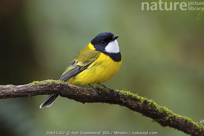 Golden Whistler (Pachycephala pectoralis) male, Victoria, Australia  ,  Adult, Australia, Color Image, Day, Full Length, Golden Whistler, Horizontal, Male, Nobody, One Animal, Outdoors, Pachycephala pectoralis, Photography, Side View, Songbird, Victoria, Wildlife  ,  Rob Drummond/ BIA