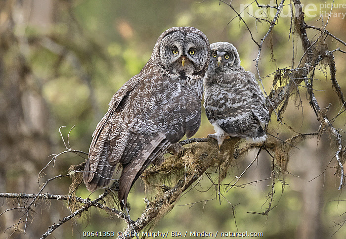 Great Gray Owl (Strix nebulosa) parent with chick, British Columbia, Canada  ,  Adult, Baby, British Columbia, Canada, Chick, Color Image, Day, Full Length, Great Gray Owl, Horizontal, Looking at Camera, Nobody, Outdoors, Parent, Photography, Raptor, Side View, Strix nebulosa, Two Animals, Wildlife  ,  Alan Murphy/ BIA