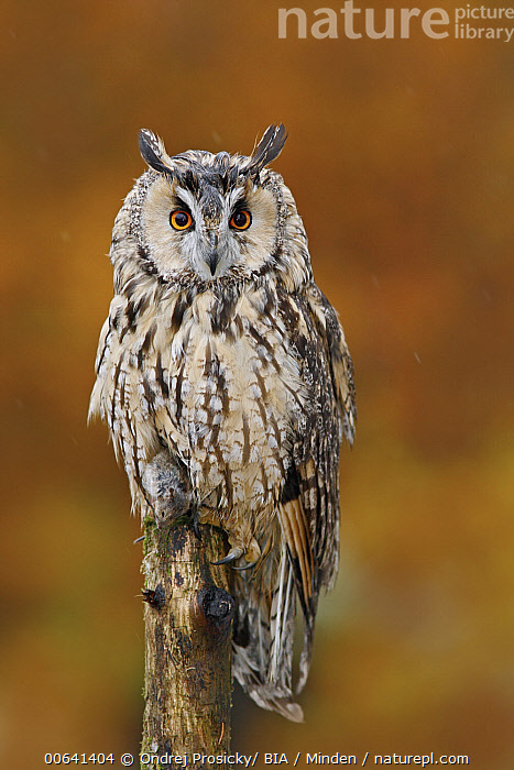 Long-eared Owl (Asio otus) in autumn with mouse prey, Norway  ,  Adult, Asio otus, Autumn, Color Image, Day, Front View, Full Length, Looking at Camera, Long-eared Owl, Nobody, Norway, One Animal, Outdoors, Photography, Predator, Prey, Raptor, Vertical, Wildlife  ,  Ondrej Prosicky/ BIA