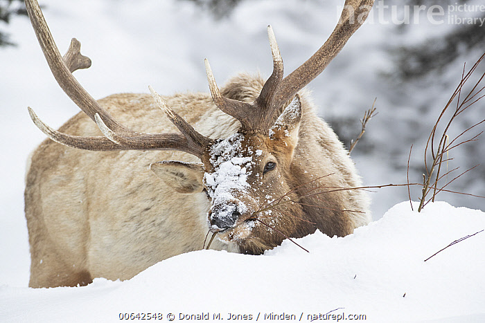 Elk (Cervus elaphus) bull browsing in winter, Yellowstone National Park, Wyoming  ,  Adult, Browsing, Bull, Cervus elaphus, Color Image, Day, Elk, Feeding, Horizontal, Male, Nobody, One Animal, Outdoors, Photography, Side View, Snow, Three Quarter Length, Wildlife, Winter, Wyoming, Yellowstone National Park  ,  Donald M. Jones