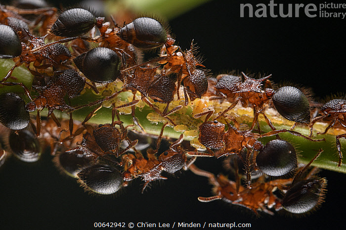 Ant (Meranoplus mucronatus) workers guarding planthopper nymphs, from which they take secreted honeydew, Deramakot Forest Reserve, Sabah, Borneo, Malaysia  ,  Adult, Ant, Borneo, Color Image, Day, Deramakot Forest Reserve, Full Length, Guarding, Horizontal, Large Group of Animals, Malaysia, Meranoplus mucronatus, Nobody, Nymph, Outdoors, Photography, Planthopper, Protecting, Sabah, Side View, Symbiosis, Top View, Wildlife  ,  Ch'ien Lee