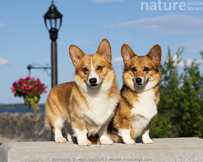 Pembroke Welsh Corgi (Canis familiaris) male and female, North America  ,  Adult, Canis familiaris, Color Image, Day, Female, Full Length, Horizontal, Male, Nobody, North America, Outdoors, Pembroke Welsh Corgi, Photography, Side View, Two Animals  ,  Mark Raycroft