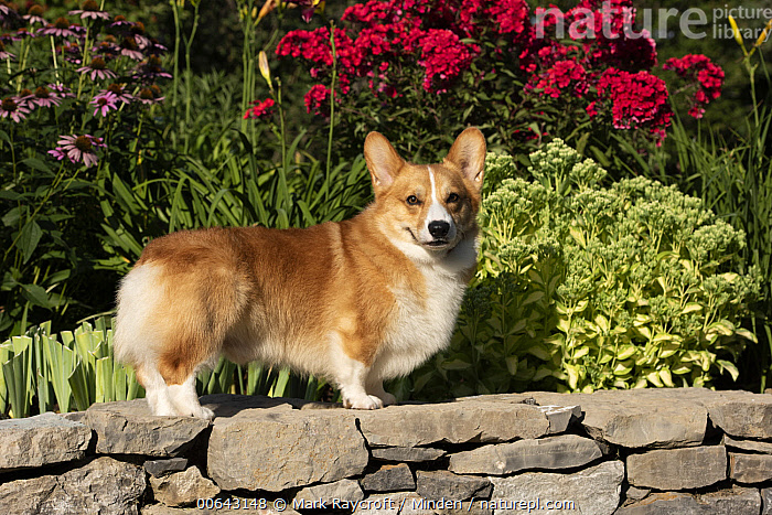 Pembroke Welsh Corgi (Canis familiaris), North America  ,  Adult, Canis familiaris, Color Image, Day, Full Length, Horizontal, Looking at Camera, Nobody, North America, One Animal, Outdoors, Pembroke Welsh Corgi, Photography, Side View  ,  Mark Raycroft