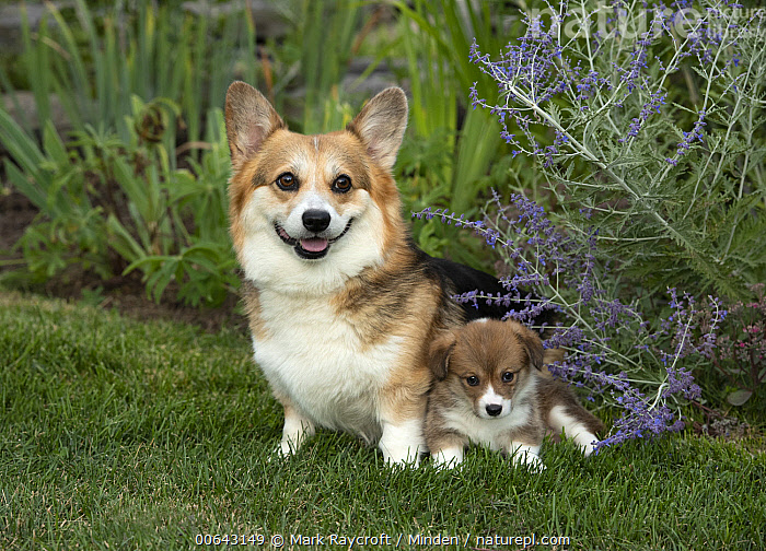 Pembroke Welsh Corgi (Canis familiaris) and puppy, North America  ,  Adult, Baby, Canis familiaris, Color Image, Day, Front View, Full Length, Horizontal, Looking at Camera, Nobody, North America, Outdoors, Parent, Pembroke Welsh Corgi, Photography, Puppy, Side View, Two Animals  ,  Mark Raycroft