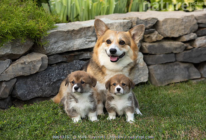 Pembroke Welsh Corgi (Canis familiaris) and puppies, North America  ,  Adult, Baby, Canis familiaris, Color Image, Day, Front View, Full Length, Horizontal, Looking at Camera, Nobody, North America, Outdoors, Parent, Pembroke Welsh Corgi, Photography, Puppy, Three Animals  ,  Mark Raycroft