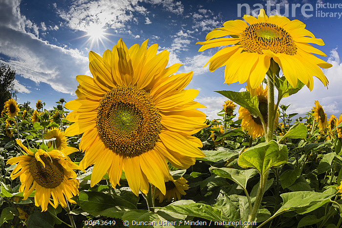 Common Sunflower (Helianthus annuus) field, Hessen, Germany  ,  Agricultural, Blue Sky, Color Image, Common Sunflower, Day, Field, Flower, Germany, Helianthus annuus, Hessen, Horizontal, Landscape, Nobody, Outdoors, Photography,Agricultural, Blue Sky, Color Image, Common Sunflower, Day, Field, Flower, Germany, Helianthus annuus, Hessen, Horizontal, Landscape, Nobody, Outdoors, Photography  ,  Duncan Usher