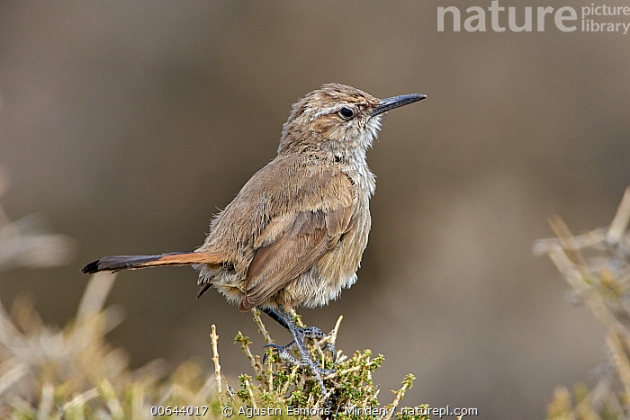 Band-tailed Earthcreeper (Eremobius phoenicurus), Argentina  ,  Adult, Argentina, Band-tailed Earthcreeper, Color Image, Day, Eremobius phoenicurus, Full Length, Horizontal, Nobody, One Animal, Outdoors, Photography, Side View, Songbird, Wildlife  ,  Agustin Esmoris
