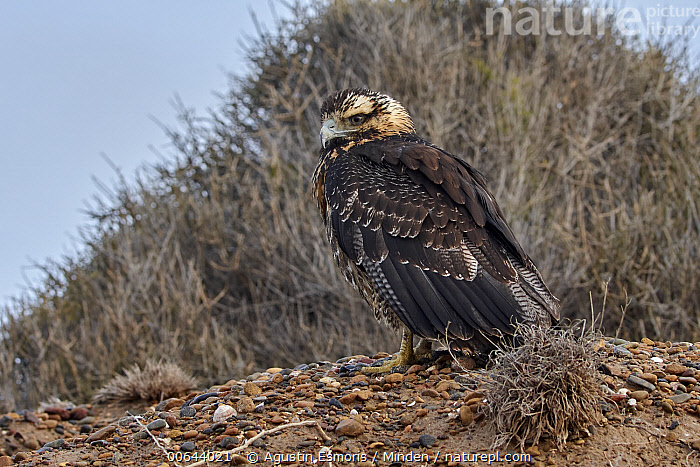 Black-chested Buzzard-Eagle (Geranoaetus melanoleucus), Argentina  ,  Adult, Argentina, Black-chested Buzzard-Eagle, Color Image, Day, Full Length, Geranoaetus melanoleucus, Horizontal, Nobody, One Animal, Outdoors, Photography, Raptor, Side View, Wildlife  ,  Agustin Esmoris