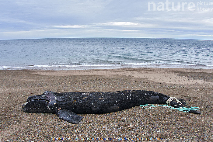 Southern Right Whale (Eubalaena australis) carcass on beach with net wrapped around its tail, Argentina  ,  Adult, Argentina, Beach, Carcass, Color Image, Day, Dead, Death, Entangled, Environmental Issue, Eubalaena australis, Full Length, Horizontal, Marine Mammal, Net, Nobody, One Object, Outdoors, Photography, Plastic, Pollution, Side View, Southern Right Whale, Wildlife  ,  Agustin Esmoris