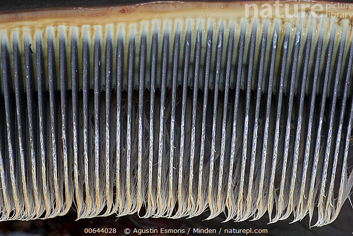 Southern Right Whale (Eubalaena australis) baleen, Argentina  ,  Adult, Argentina, Baleen, Carcass, Close Up, Color Image, Day, Dead, Eubalaena australis, Horizontal, Line, Marine Mammal, Mouth, Nobody, One Object, Outdoors, Pattern, Photography, Side View, Southern Right Whale, Wildlife  ,  Agustin Esmoris