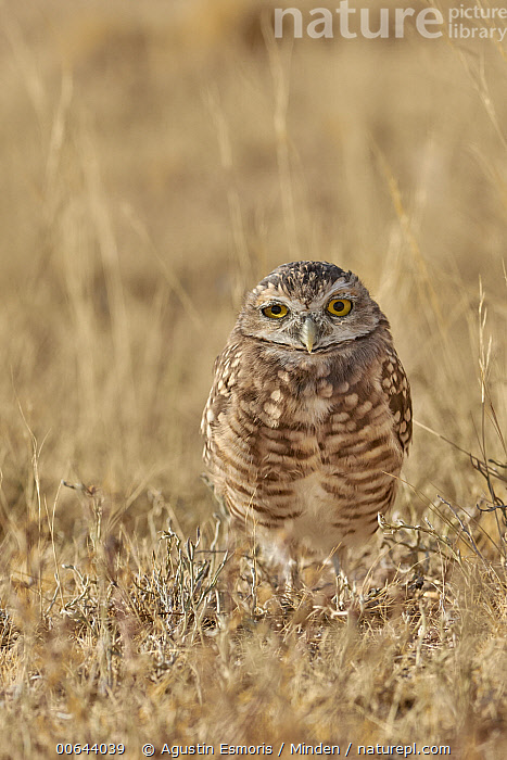 Burrowing Owl (Athene cunicularia), Argentina  ,  Adult, Argentina, Athene cunicularia, Burrowing Owl, Color Image, Day, Front View, Full Length, Looking at Camera, Nobody, One Animal, Outdoors, Photography, Vertical, Wildlife  ,  Agustin Esmoris