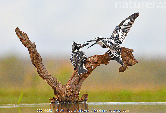 Pied Kingfisher (Ceryle rudis) pair fighting, Zimanga Game Reserve, South Africa  ,  Adult, Ceryle rudis, Color Image, Competition, Day, Displaying, Fighting, Full Length, Horizontal, Nobody, Open Mouth, Outdoors, Photography, Pied Kingfisher, Rear View, Side View, South Africa, Spreading Wings, Two Animals, Wildlife, Zimanga Game Reserve  ,  Winfried Wisniewski