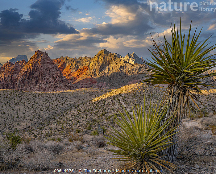 Mojave Yucca (Yucca schidigera) and mountains, Red Rock Canyon National Conservation Area, Nevada  ,  Blue Sky, Color Image, Day, Desert, Horizontal, Landscape, Mojave Yucca, Mountain, Mountain Range, Nevada, Nobody, Outdoors, Peak, Photography, Red Rock Canyon National Conservation Area, Square, Yucca schidigera  ,  Tim Fitzharris