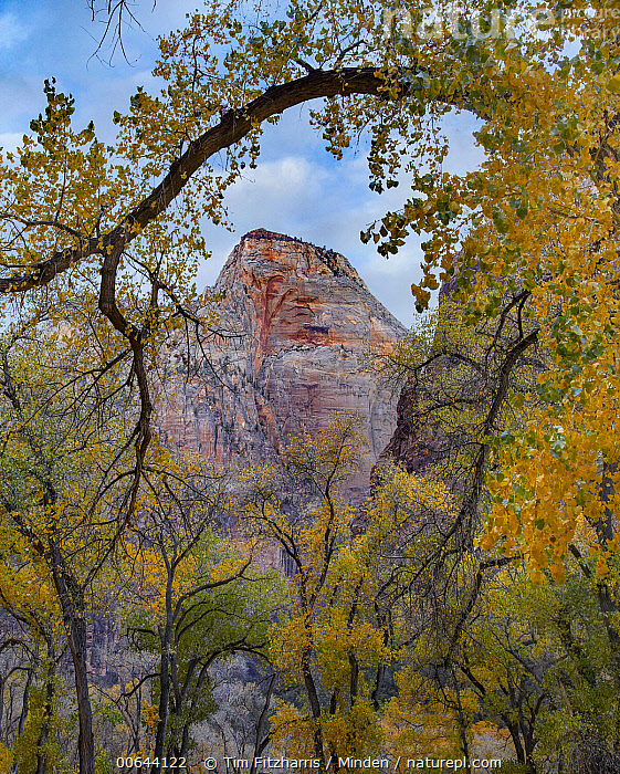 Court of the Patriarchs, Zion Canyon, Zion National Park, Utah  ,  Blue Sky, Color Image, Court of the Patriarchs, Day, Landscape, Mountain, Nobody, Outdoors, Peak, Photography, Tree, Utah, Vertical, Zion Canyon, Zion National Park  ,  Tim Fitzharris