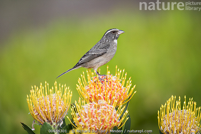 Streaky-headed Seedeater (Serinus gularis)on protea, Garden Route National Park, South Africa  ,  Adult, Color Image, Day, Full Length, Garden Route National Park, Horizontal, Nobody, One Animal, Outdoors, Photography, Protea, Serinus gularis, Side View, Songbird, South Africa, Streaky-headed Seedeater, Wildlife  ,  Richard Du Toit