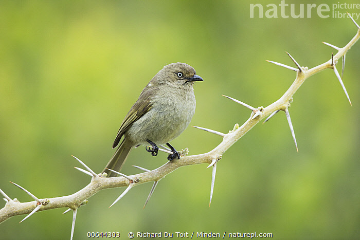 Sombre Greenbul (Andropadus importunus), Garden Route National Park, South Africa  ,  Adult, Andropadus importunus, Color Image, Day, Full Length, Garden Route National Park, Horizontal, Nobody, One Animal, Outdoors, Photography, Side View, Sombre Greenbul, Songbird, South Africa, Thorn, Wildlife  ,  Richard Du Toit