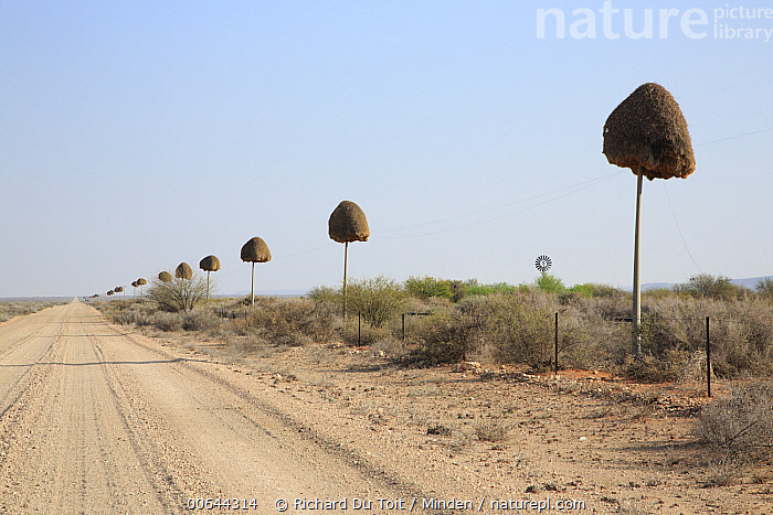 Sociable Weaver (Philetairus socius) nests along road, South Africa  ,  Adult, Color Image, Day, Full Length, Horizontal, Medium Group of Objects, Nest, Nobody, Outdoors, Philetairus socius, Photography, Road, Side View, Sociable Weaver, Songbird, South Africa, Wildlife  ,  Richard Du Toit