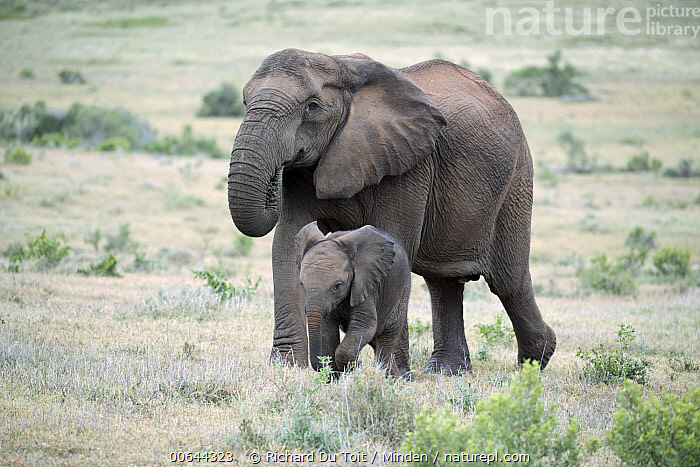 African Elephant (Loxodonta africana) tuskless mother grazing and calf, Addo National Park, South Africa  ,  Addo National Park, Adult, African Elephant, Baby, Calf, Color Image, Day, Female, Full Length, Grazing, Horizontal, Loxodonta africana, Mother, Nobody, Outdoors, Parent, Photography, Side View, South Africa, Threatened Species, Tuskless, Two Animals, Vulnerable Species, Wildlife  ,  Richard Du Toit