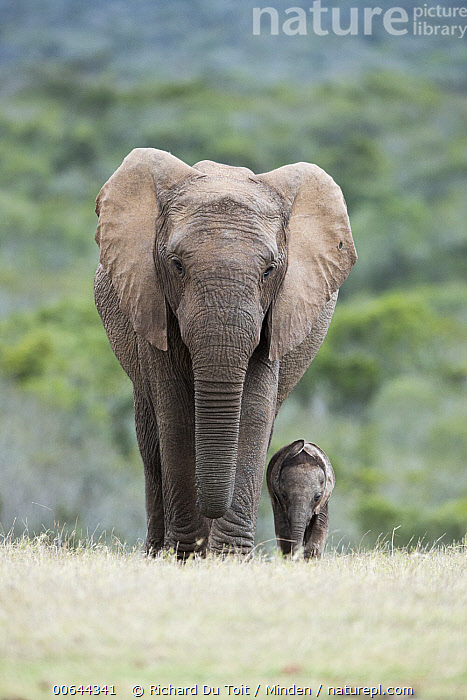 African Elephant (Loxodonta africana) mother and calf, Addo National Park, South Africa  ,  Addo National Park, Adult, African Elephant, Baby, Calf, Color Image, Cute, Day, Female, Front View, Full Length, Looking at Camera, Loxodonta africana, Mother, Nobody, Outdoors, Parent, Photography, South Africa, Threatened Species, Tiny, Two Animals, Vertical, Vulnerable Species, Wildlife  ,  Richard Du Toit