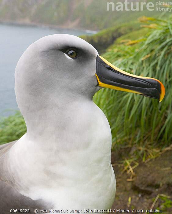 Grey-headed Albatross (Thalassarche chrysostoma), Elsehul, South Georgia Island  ,  Adult,Color Image,Day,Elsehul,Grey-headed Albatross,Head and Shoulders,Nobody,One Animal,Outdoors,Photography,Portrait,Profile,Seabird,Side View,South Georgia Island,Thalassarche chrysostoma,Threatened Species,Vertical,Vulnerable Species,Wildlife,Adult,Color Image,Day,Elsehul,Grey-headed Albatross,Head and Shoulders,Nobody,One Animal,Outdoors,Photography,Portrait,Profile,Seabird,Side View,South Georgia Island,Thalassarche chrysostoma,Threatened Species,Vertical,Vulnerable Species,Wildlife  ,  Yva Momatiuk & John Eastcott