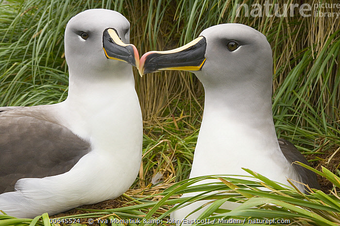 Grey-headed Albatross (Thalassarche chrysostoma) pair, Elsehul, South Georgia Island  ,  Adult,Color Image,Couple,Day,Elsehul,Grey-headed Albatross,Head and Shoulders,Horizontal,Nobody,Outdoors,Photography,Seabird,Side View,South Georgia Island,Thalassarche chrysostoma,Threatened Species,Touching,Two Animals,Vulnerable Species,Waist Up,Wildlife,Adult,Color Image,Couple,Day,Elsehul,Grey-headed Albatross,Head and Shoulders,Horizontal,Nobody,Outdoors,Photography,Seabird,Side View,South Georgia Island,Thalassarche chrysostoma,Threatened Species,Touching,Two Animals,Vulnerable Species,Waist Up,Wildlife  ,  Yva Momatiuk & John Eastcott