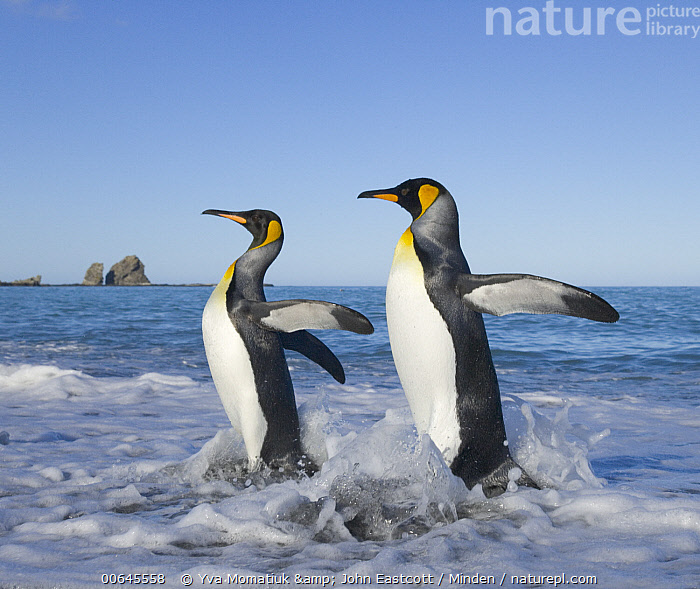 King Penguin (Aptenodytes patagonicus) pair coming ashore, Gold Harbor, South Georgia Island  ,  Adult,Aptenodytes patagonicus,Coming Ashore,Color Image,Day,Full Length,Gold Harbor,King Penguin,Nobody,Outdoors,Photography,Seabird,Side View,South Georgia Island,Square,Two Animals,Wildlife,Adult,Aptenodytes patagonicus,Coming Ashore,Color Image,Day,Full Length,Gold Harbor,King Penguin,Nobody,Outdoors,Photography,Seabird,Side View,South Georgia Island,Square,Two Animals,Wildlife  ,  Yva Momatiuk & John Eastcott