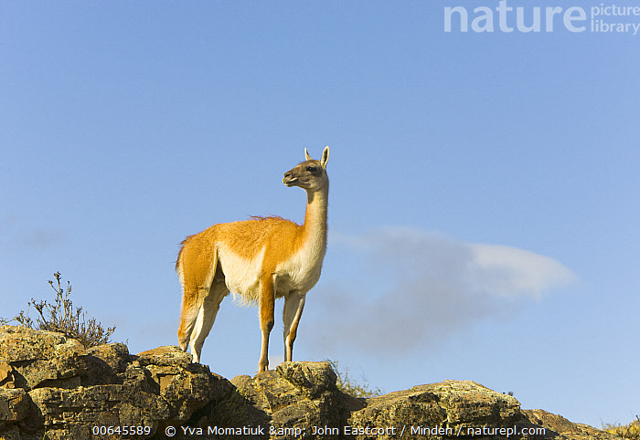 Guanaco (Lama guanicoe), Torres del Paine National Park, Patagonia, Chile  ,  Adult,Chile,Color Image,Day,Full Length,Guanaco,Horizontal,Lama guanicoe,Nobody,One Animal,Outdoors,Patagonia,Photography,Side View,Torres Del Paine National Park,Wildlife,Adult,Chile,Color Image,Day,Full Length,Guanaco,Horizontal,Lama guanicoe,Nobody,One Animal,Outdoors,Patagonia,Photography,Side View,Torres Del Paine National Park,Wildlife  ,  Yva Momatiuk & John Eastcott