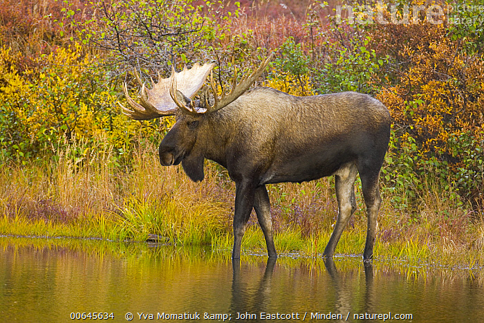 Alaska Moose (Alces alces gigas) bull in pond, Denali National Park, Alaska  ,  Adult,Alces alces gigas,Alaska,Alaska Moose,Bull,Color Image,Day,Denali National Park,Full Length,Horizontal,Male,Nobody,One Animal,Outdoors,Photography,Pond,Side View,Wildlife,Adult,Alces alces gigas,Alaska,Alaska Moose,Bull,Color Image,Day,Denali National Park,Full Length,Horizontal,Male,Nobody,One Animal,Outdoors,Photography,Pond,Side View,Wildlife  ,  Yva Momatiuk & John Eastcott