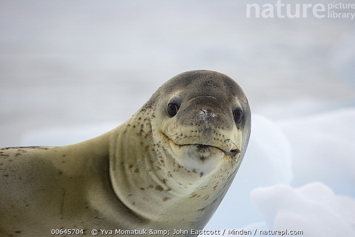 Leopard Seal (Hydrurga leptonyx), Antarctic Peninsula, Antarctica  ,  Adult,Antarctica,Antarctic Peninsula,Color Image,Day,Funny,Head and Shoulders,Horizontal,Humor,Hydrurga leptonyx,Leopard Seal,Looking at Camera,Marine Mammal,Nobody,One Animal,Outdoors,Photography,Portrait,Side View,Smiling,Wildlife,Adult,Antarctica,Antarctic Peninsula,Color Image,Day,Funny,Head and Shoulders,Horizontal,Humor,Hydrurga leptonyx,Leopard Seal,Looking at Camera,Marine Mammal,Nobody,One Animal,Outdoors,Photography,Portrait,Side View,Smiling,Wildlife  ,  Yva Momatiuk & John Eastcott
