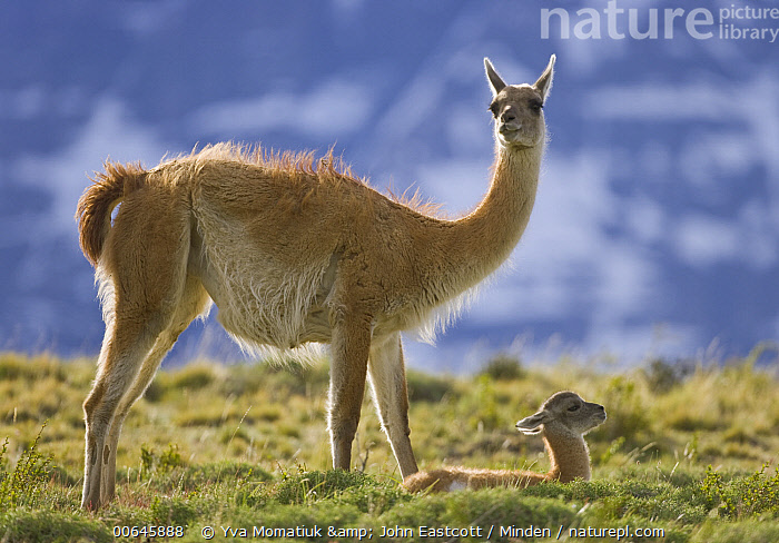 Guanaco (Lama guanicoe) mother and cria, Torres del Paine National Park, Patagonia, Chile  ,  Adult,Baby,Chile,Color Image,Cria,Day,Female,Full Length,Guanaco,Horizontal,Lama guanicoe,Mother,Nobody,Outdoors,Parent,Patagonia,Photography,Side View,Torres Del Paine National Park,Two Animals,Wildlife,Adult,Baby,Chile,Color Image,Cria,Day,Female,Full Length,Guanaco,Horizontal,Lama guanicoe,Mother,Nobody,Outdoors,Parent,Patagonia,Photography,Side View,Torres Del Paine National Park,Two Animals,Wildlife  ,  Yva Momatiuk & John Eastcott